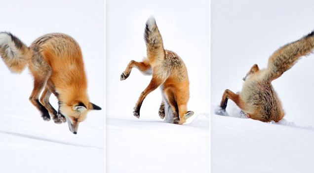 Fox Diving Headfirst Into Snow Science Vibe