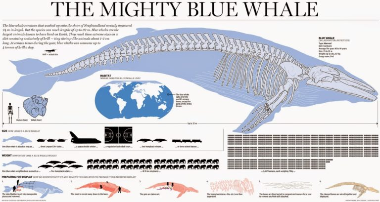 Perfect Anatomy Of Blue Whale Adornment Anatomy And Physiology