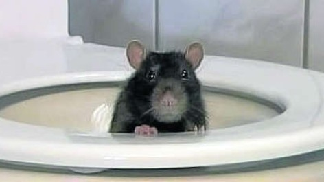 True or Hoax? A rat can swim through the sewers and show up in your ...