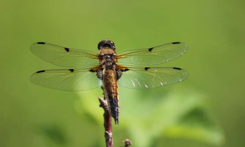 news female dragonflies fake deaths avoid interaction male suitors