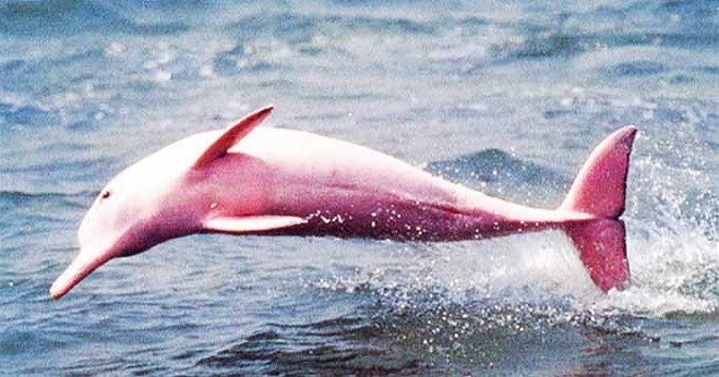 Image result for An Extremely Rare Pink Dolphin Gives Birth To Pink Calf